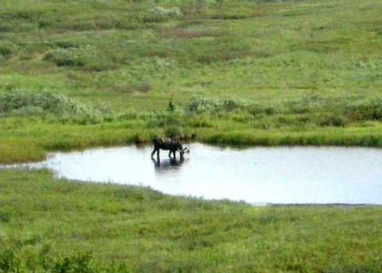 Alaska moose in denali