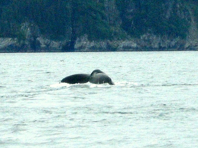Alaska whale tail seward