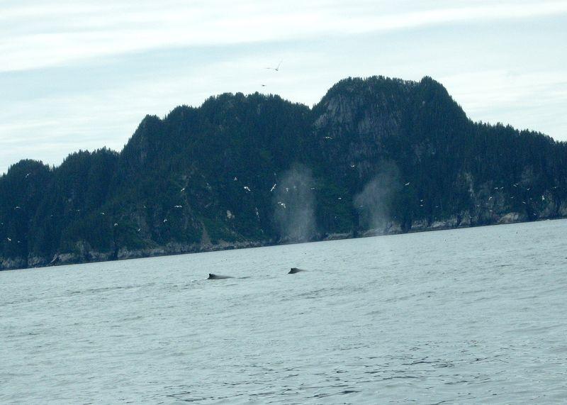 Alaska whales in seward