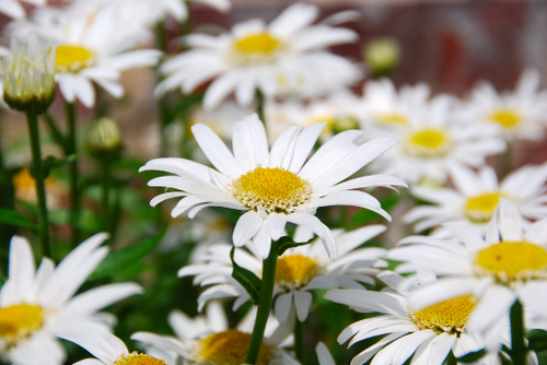 2007_may_daisy_2_0176
