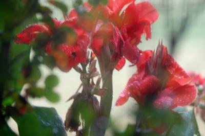 2007_oct_rainy_day_cannas_0756