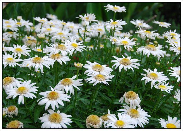 2008_may_daisies_2_1538_2