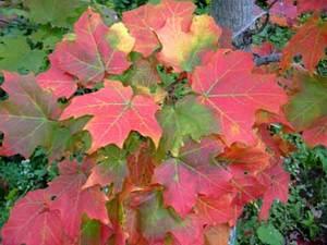 Vermont_leaves_1