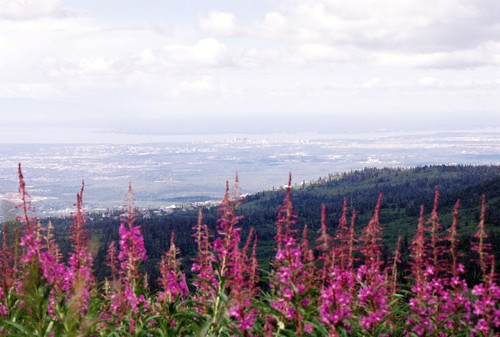 Fireweed_over_anchorage